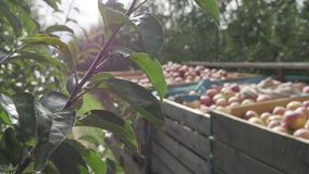 Harvested apples in wooden box crate in orchard tree alley in autumn farm plantation.  stock video