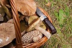 Porcini mushrooms Boletus edulis, cep, penny bun, porcino or ki. Harvested at autumn amazing edible mushrooms boletus edulis king bolete known as porcini Stock Images