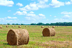 Harvested bales of straw from the field Royalty Free Stock Photo