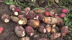 Harvested beetroot Beta vulgaris var. rapacea on pile detail. High quality feed for cattle, pigs, sheep and other farm. Harvested beet root Beta vulgaris var stock video footage