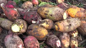 Harvested beetroot Beta vulgaris var. rapacea on pile. High quality feed for cattle, pigs, sheep and other farm animals. stock footage