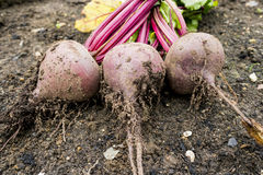 Harvested Beetroot Royalty Free Stock Photo