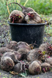 Harvested beets against the background of the bucket Royalty Free Stock Photography