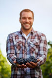 Harvested blue grapes in the hands Royalty Free Stock Photo