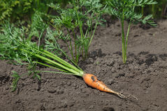 Harvested carrot Royalty Free Stock Image