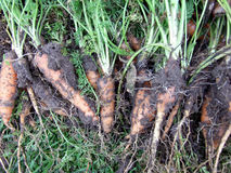 Harvested carrots. Some dirty organic carrots harvested Royalty Free Stock Image