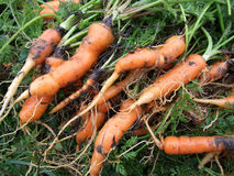 Harvested carrots. Some fresh organic carrots harvested Royalty Free Stock Photography