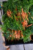 Harvested carrots. Image of carrots freshly harvest Stock Photography