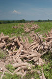 Harvested cassava root Stock Images