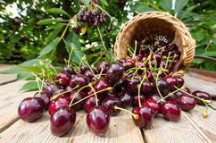 Harvested Cherries Royalty Free Stock Photo