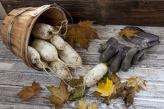 Harvested chinese radishes in a basket. A close up concept image of chinese radishes in a basket Stock Photos