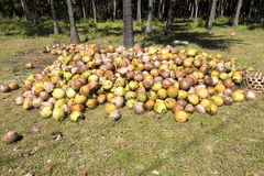 Harvested coconuts,  Nusa Penida, Indonesia Stock Images