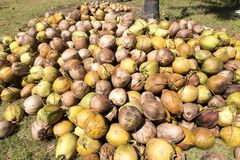 Harvested coconuts,  Nusa Penida, Indonesia Royalty Free Stock Image