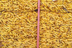 Harvested corn Stock Photography