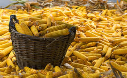 Harvested corn in a basket and many around Stock Photos