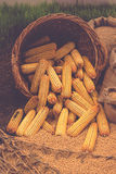 Harvested Corn in Basket Royalty Free Stock Images