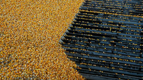 Harvested Corn Being Unloaded at a Grain Elevator Stock Photo