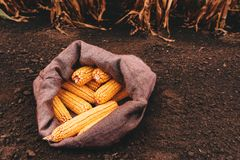Harvested corn cobs in burlap sack. Left in the field royalty free stock photography
