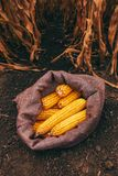 Harvested corn cobs in burlap sack. Left in the field royalty free stock photos