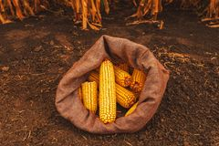 Harvested corn cobs in burlap sack. Left in the field royalty free stock images