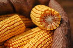 Harvested corn cobs in burlap sack. Selective focus stock images