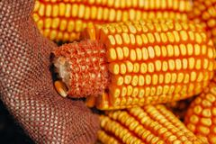 Harvested corn cobs in burlap sack. Selective focus royalty free stock photos