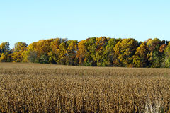 Harvested Corn crop with Fall foliage Royalty Free Stock Image
