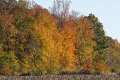 Harvested Corn crop with Fall foliage Royalty Free Stock Photography