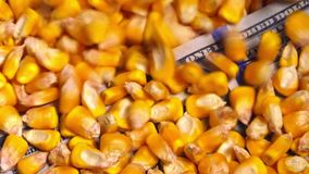 Harvested corn crop seed price in United States of America. Conceptual footage with grains falling over american dollar banknote stock video