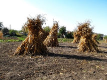 Harvested corn crop. Sheaves of dry corn in the garden Stock Images