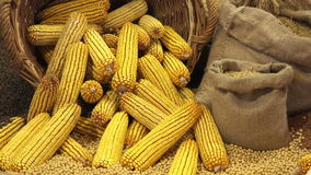 Harvested Corn Ears in Wicker Basket stock video footage