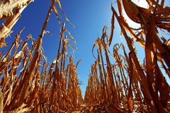 Harvested corn field Royalty Free Stock Photos