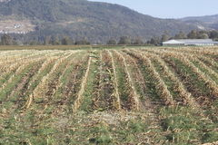 Harvested Corn Field Stock Photography