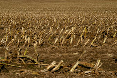 Harvested Corn Field. A harvested field of Corn Royalty Free Stock Image