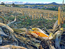 Harvested corn field with mountain Stock Image