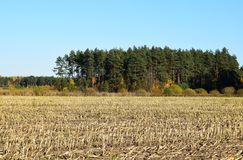 Harvested corn field with remains from the plants. Harvested corn field with remains from the plants on some farmland with forest and a blue sky on a cold Stock Image
