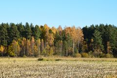 Harvested corn field with remains from the plants. Harvested corn field with remains from the plants on some farmland with forest and a blue sky on a cold Royalty Free Stock Photo