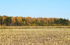 Harvested corn field with remains from the plants. Harvested corn field with remains from the plants on some farmland with forest and a blue sky on a cold Stock Photo