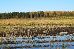 Harvested corn field with remains from the plants. Harvested corn field with remains from the plants on some farmland with forest and a blue sky on a cold Stock Photography