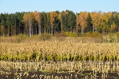 Harvested corn field with remains from the plants. Harvested corn field with remains from the plants on some farmland with forest and a blue sky on a cold Stock Images