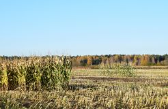 Harvested corn field with remains from the plants. Harvested corn field with remains from the plants on some farmland with forest and a blue sky on a cold Royalty Free Stock Photography