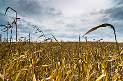 Harvested corn field before the storm at late autumn Royalty Free Stock Photography