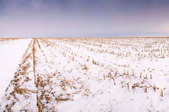 Harvested corn field under snow. In Serbia Royalty Free Stock Image