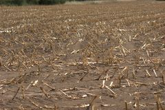 Harvested corn field Zea mays showing the extremely dry soil as a result of the drought of 2018. Harvested corn field Zea mays with the stubble still on the Stock Photography