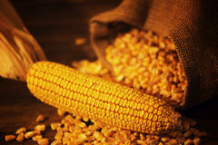 Harvested corn maize cob and grains Stock Photography