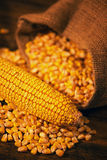 Harvested corn maize cob and grains Royalty Free Stock Image