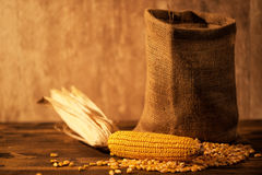 Harvested corn maize cob and grains Stock Image