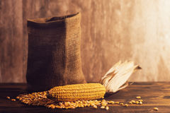 Harvested corn maize cob and grains Royalty Free Stock Photography