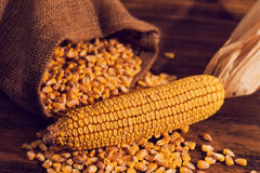 Harvested corn maize cob and grains Royalty Free Stock Photos