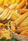 Harvested corn maize crop. Harvested maize crop, corn on the cob and grains Royalty Free Stock Photo